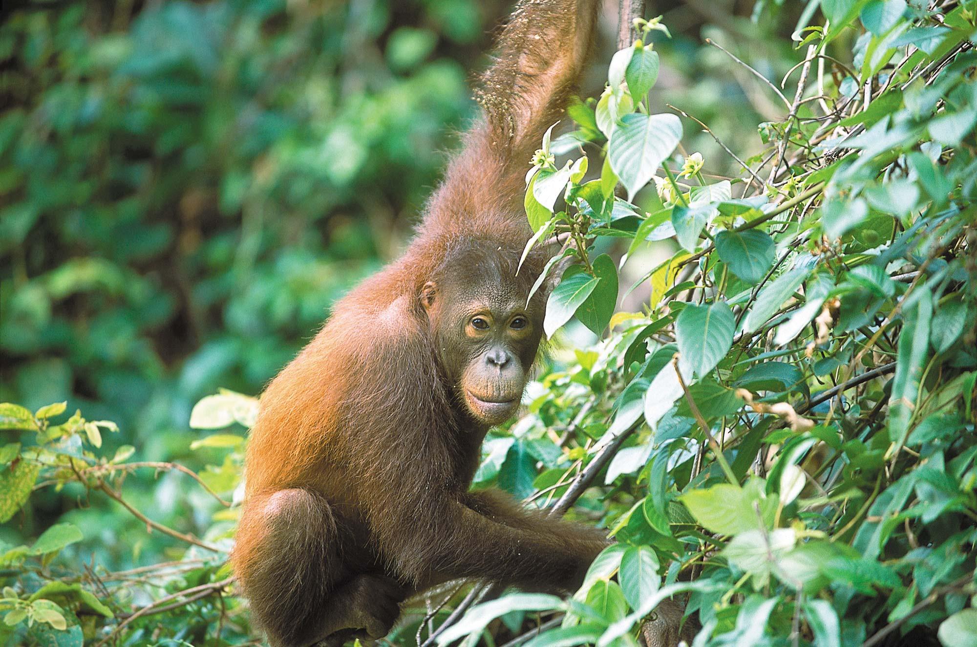 sabah-tourism-david-kirkland-56-orangutan.jpg